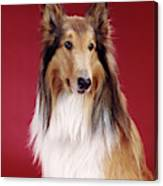1960s Portrait Of Collie Dog On Red Canvas Print