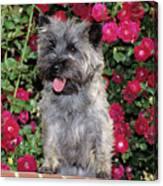 1990s Cairn Terrier Dog Standing Canvas Print