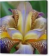 1st Iris Canvas Print