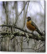 1st Robin Of Spring Canvas Print