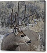 4x4 Mule Deer Buck Canvas Print