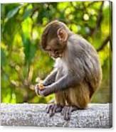 A Baby Macaque Eating An Orange Canvas Print