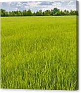 A Field Of Green Wheat Under A Cloudy Sky Canvas Print