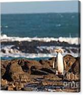 Adult Nz Yellow-eyed Penguin Or Hoiho On Shore Canvas Print