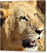 African Lion Cub Portrait Canvas Print