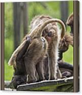 Almost Human    Gelada Baboons Canvas Print