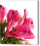 Alstroemeria Flowers Against White Canvas Print