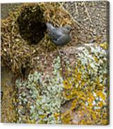 American Dipper And Nest   #1487 Canvas Print