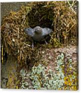 American Dipper And Nest   #1538 Canvas Print