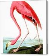 American Flamingo Canvas Print