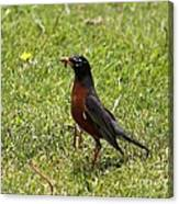 American Robin Gathering Worms Canvas Print