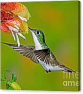 Andean Emerald Hummingbird Canvas Print
