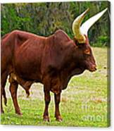 Ankole-watusi Cattle Canvas Print