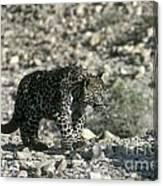 Arabian Leopard Panthera Pardus 1 Canvas Print