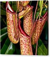 Asian Pitcher Plant Canvas Print