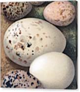Assorted Birds Eggs, Historical Art Canvas Print