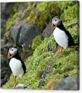 Atlantic Puffin, Fratercula Arctica Canvas Print