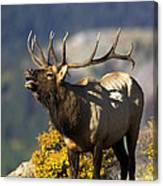 Autumn Bull Elk Bugling Canvas Print