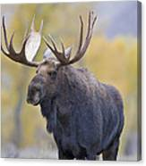 Autumn Bull Moose IIi Canvas Print