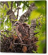 Baby Red Shouldered Hawk In Nest Canvas Print