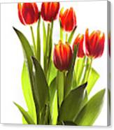 Backlit Tulip Flowers Against White Canvas Print