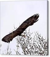 Bald Eagle Soaring Canvas Print