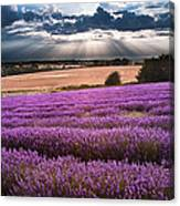 Beautiful Lavender Field Landscape With Dramatic Sky Canvas Print