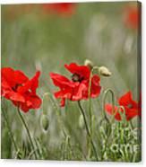 Beautiful Poppies 1 Canvas Print