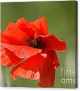 Beautiful Poppies 3 Canvas Print