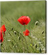 Beautiful Poppies 4 Canvas Print
