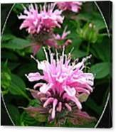 Bee Balm Named Panorama Pink Canvas Print