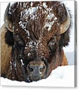 Bison In Snow Canvas Print
