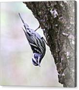 Black And White Warbler Canvas Print