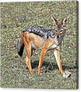 Black Backed Jackal Canvas Print