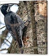 Black-backed Woodpecker Canvas Print
