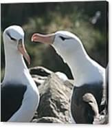 Black Browed Albatross Pair Canvas Print