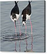 Black-necked Stilt Canvas Print