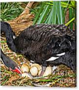 Black Swan At Nest Canvas Print