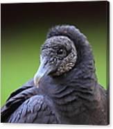 Black Vulture Portrait Canvas Print