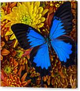 Blue Butterfly On Mums Canvas Print