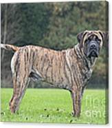Boerboel Dog Canvas Print