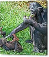 Bonobo Adult And Baby Canvas Print