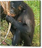 Bonobo Canvas Print