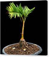 Bonsai Palm Tree Canvas Print