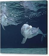 Bottlenose Dolphin  Pair Hawaii Canvas Print