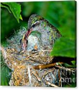 Broad-billed Hummingbird And Young Canvas Print