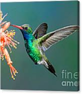 Broad-billed Hummingbird At Ocotillo Canvas Print