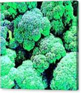 Broccolo Canvas Print