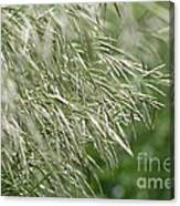 Brome Grass In The Hay Field Canvas Print