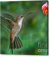 Bronzy Inca Hummingbird Canvas Print